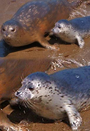 The Seals Pupping at Point Lobos State Reserve at Point Lobos in Big Sur CA is a cannot miss!