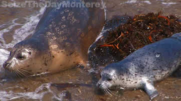 Big Sur California, Seal Pupping at Point Lobos State Reserve