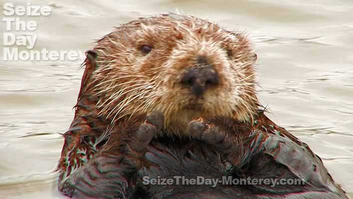 Monterey Sea Otters are one of Monterey's most famous animals and they are great fun to watch!