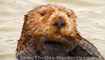 Sea Otters can frequently be spotted at Point Lobos in Big Sur.