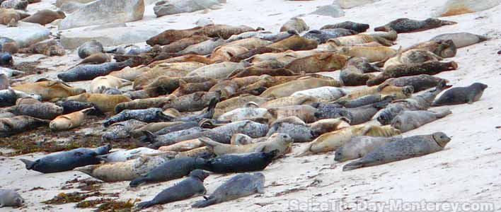 Get free parking at the Monterey Aquarium and a short scenic walk past these harbor seals!
