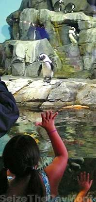The Monterey Aquarium Penguin Exhibit is a favorite among children!