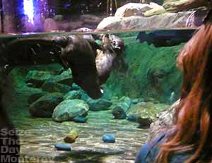 Monterey Aquarium Fresh Water Sea Otters are a joy to watch!  Free Monterey Bay Aquarium tickets is wonderful as well!