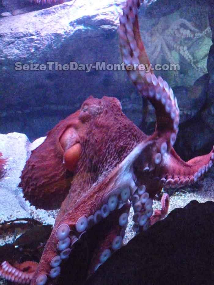 Monterey Aquarium Tentacles Exhibit Features this Awe Inspiring Octpus!
