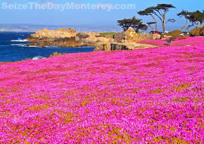 The Recreational Trail just around the corner from the Monterey Aquarium is downright Amazing!  Especially during May when the Purple Carpet is in full bloom!