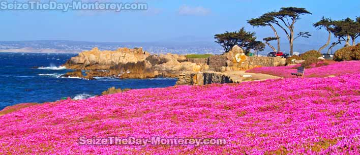 The Purple Carpet in Pacific Grove is a site to behold and the best part is that there are a number of neighboring paths!