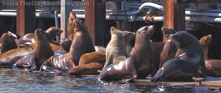 You'll Get To See Sea Lions on the Monterey Glass Bottom Boat Harbor Cruise!