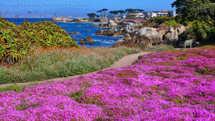 The Purple Carpet in Pacific Grove in April and May is just breathtaking!  Do not miss it while visiting Monterey California!